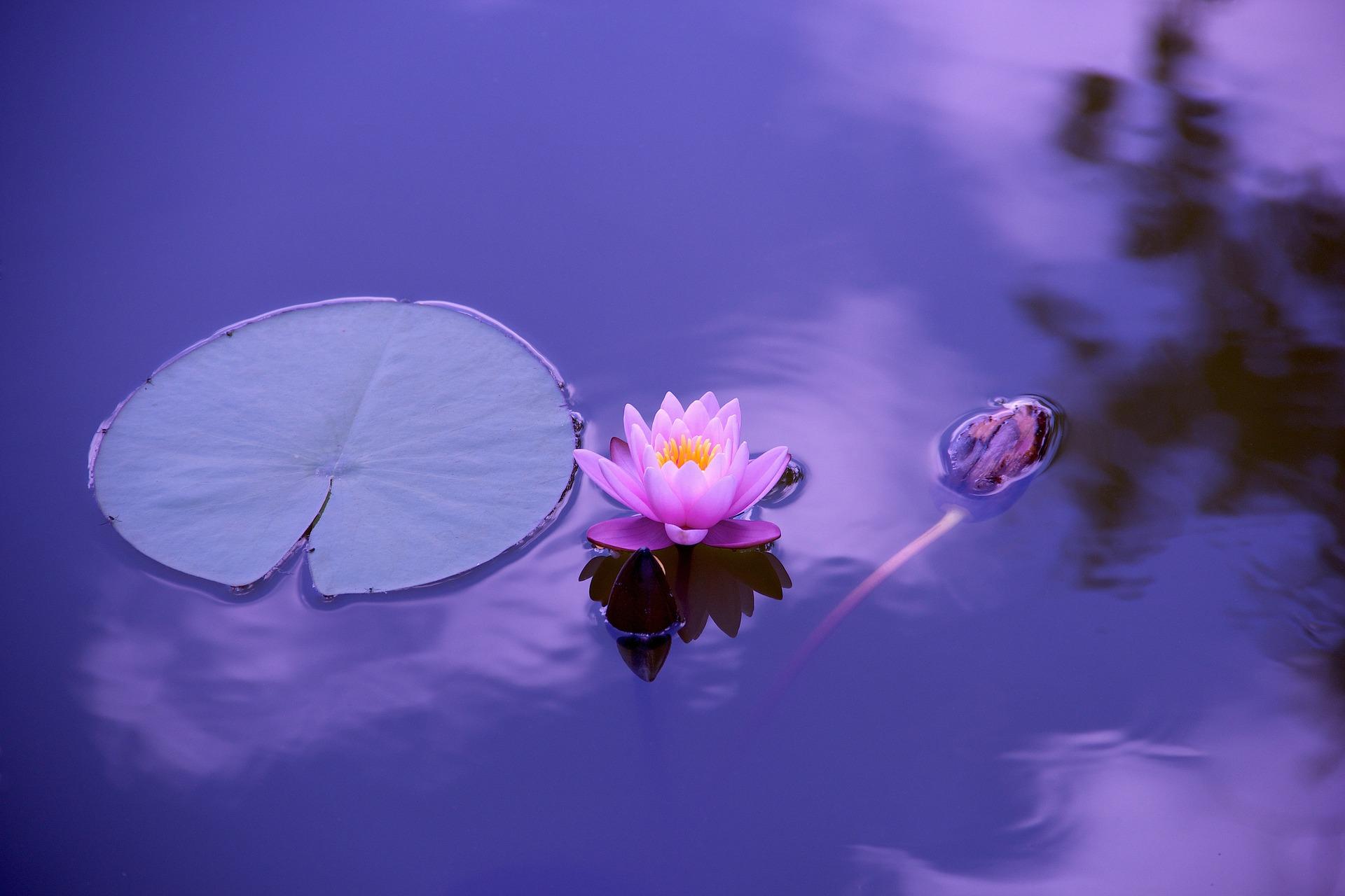Purple Water Lillie